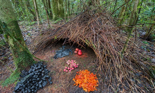 The bower of the vogelkop gardener bowerbird. AMAZING!!!